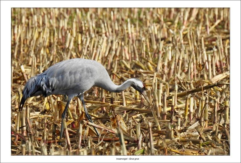 Kraanvogel - Ook dit jaar zijn wij weer naar het eiland Rugen en het gebied ten zuiden van Zingst getogen om daar de trek van de kraanvogels te aansch