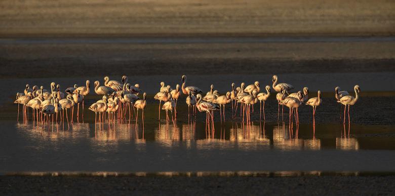 Flamingo's in warm avondlicht - Flamingo's in warm avondlicht.