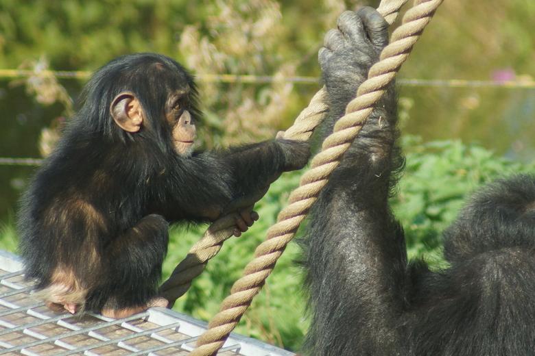 Baby Chimp -