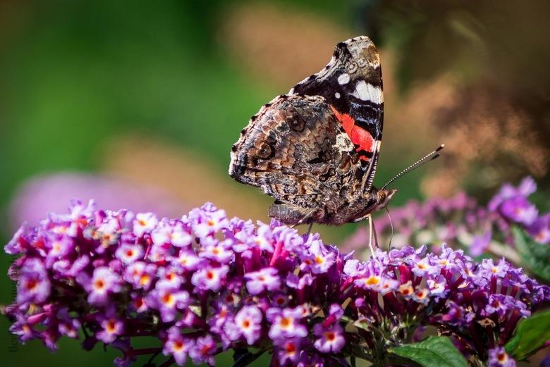 Vlinder - Vlinder in de achtertuin