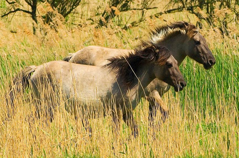 Paarden aan de Oostvaardersplassen - Paarden aan de Oostvaardersplassen