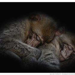 Sleeping with other monkeys