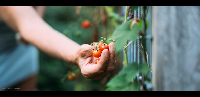 Oogsten - Tomaten oogsten.<br /> <br /> <br /> <br /> ©MotionMan 2020
