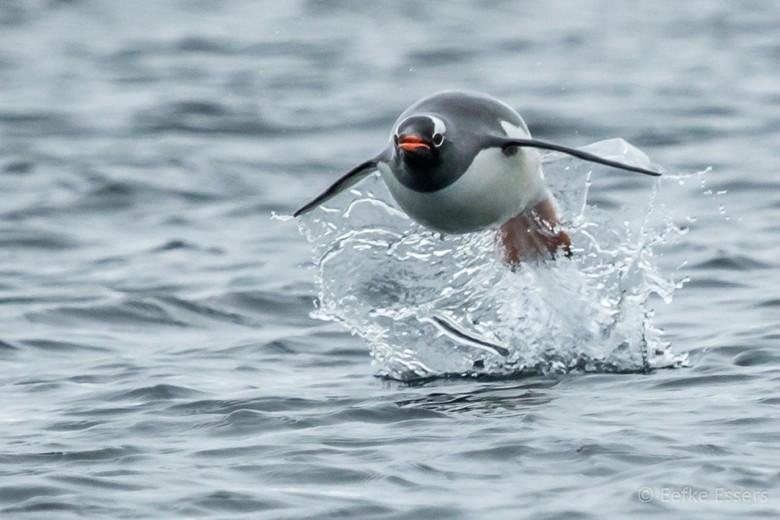 Flying pinguin
