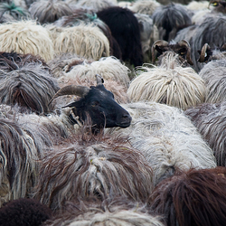 Lonely Sheep?