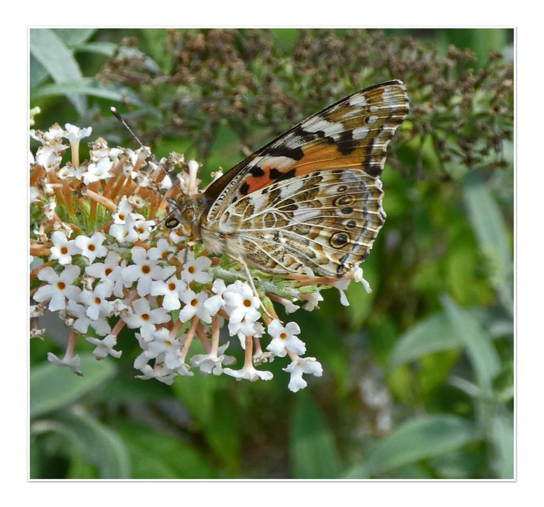 Schutkleuren - Hij viel bijna niet op ,op de witte vlinder struik.Vandaag kom ik weer langs . het was me steeds te warm. gr Bets