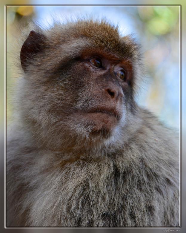Berberaap - En natuurlijk kun je niet om de apen heen als je in Gibraltar bent.<br /> <br /> In Europa komen berberapen alleen in het wild voor op d