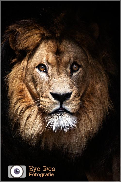 Caesar de Leeuw  (20) - Een paar dagen voor deze legende in dierentuin Artis overleed, had ik nog het geluk hem vast te kunnen leggen, terwijl het lic