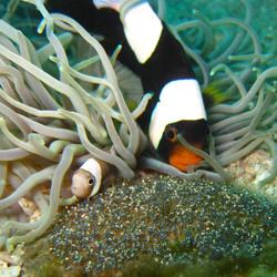 anemone  - panda clownfish with eggs