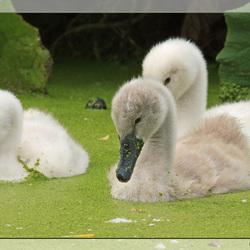 Drie kleine zwaantjes