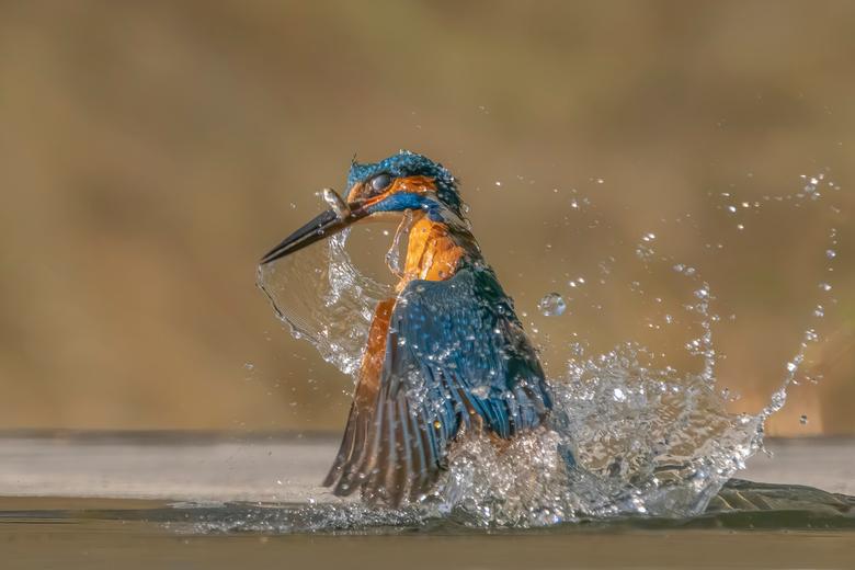 Vangst van de dag. - IJsvogeltje komt het water weer uit na een perfecte duik en vangst.<br /> Zo lastig om vast te kunnen leggen, daarom ook super b