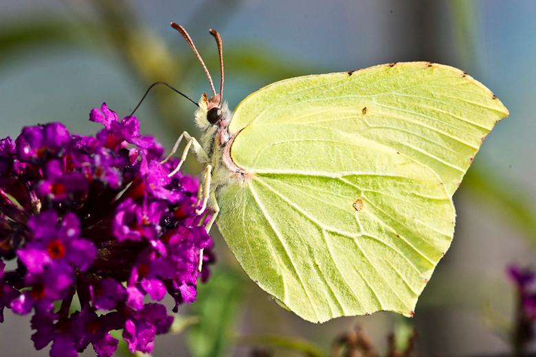 Citroenvlinder - Een mooie Citroenvlinder op de vlinderstruik in onze tuin