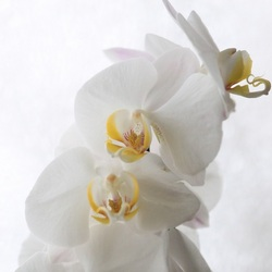 orchidee achtergrond sneeuw