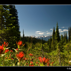 Indian paintbrush on top