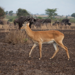Buffels en Kob