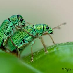 Snuitkevers (krap 1 centimeter lang)