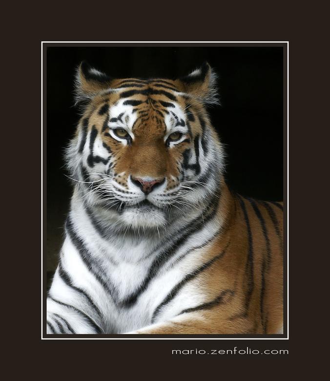 Royal - Deze koninklijke tijger uit de Antwerpse Zoo heb ik al eens in een andere pose gepost. Houding van deze vind ik erg mooi. <br /> <br /> Niet