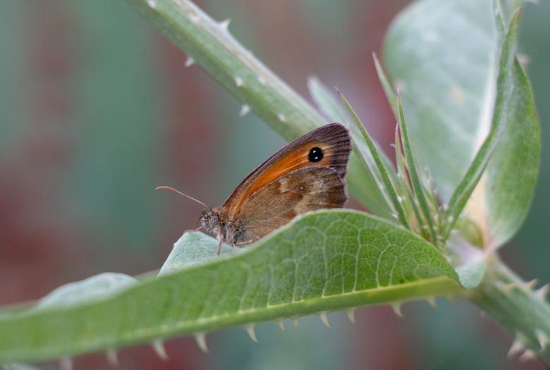 Scherpte - Dit Oranje Zandoogje gespot op de plant met stevige doorns