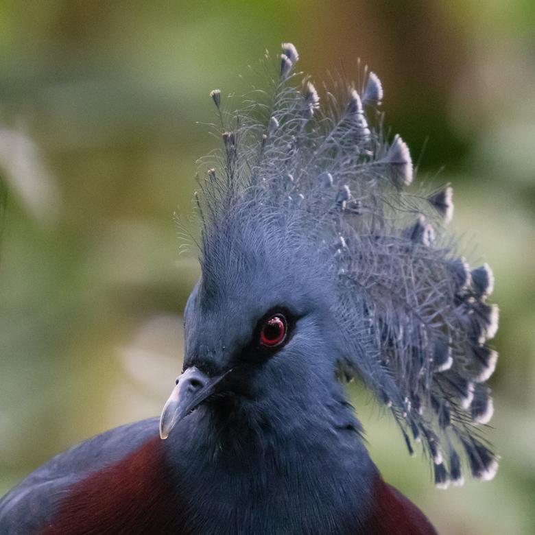 Koninklijke duif? - De Victoria kroonduif is de grootste duivensoort die we kennen. Kenmerkend zijn de rode ogen en de kroon. Vaak zie je ze statig do