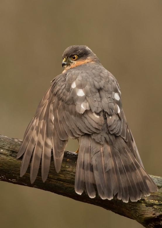 Sperwer - Sperwer mannetje, vandaag vanuit een vogelhut.