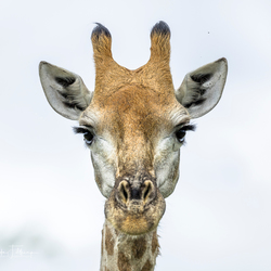 Heb je het tegen mij? Giraffe