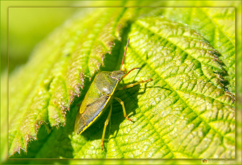 Groene Schildwants -