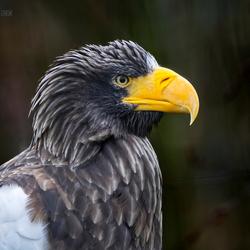 Steller's Sea Eagle / Haliaeetus pelagicus