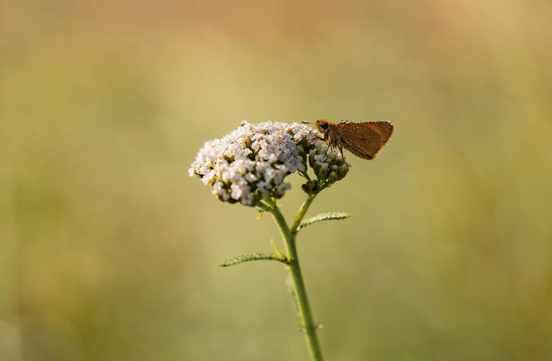 Geelsprietdikkopje - Tijdens zoektocht naar kleine parelmoervlinder spotte ik ook dit geelsprietdikkopje.  Naam is leuk voor ouderwets potje scrabble