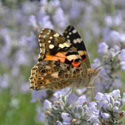 Vlinder op de lavendel