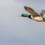 Wilde eend in de vlucht