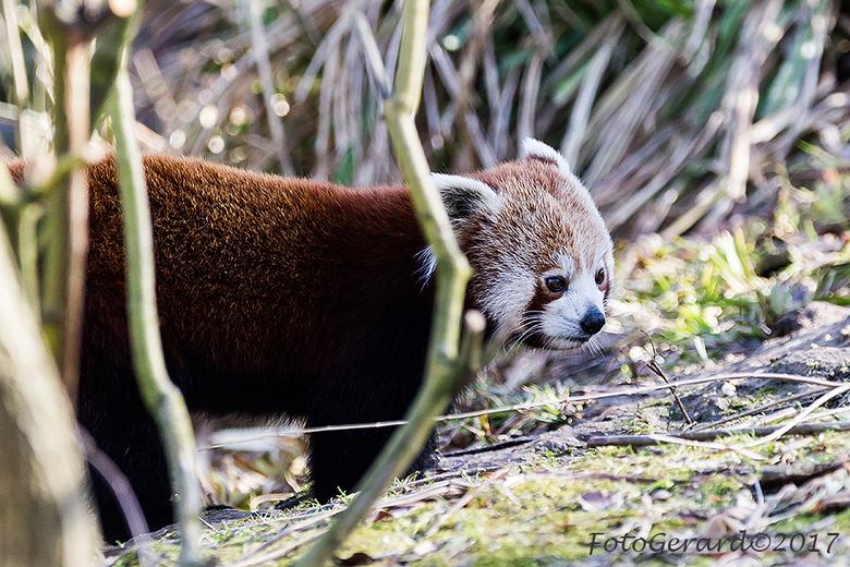 Rode Panda 3 - Nu er in de winter weinig bl;aderen aan bomen en struiken zijn kunnen deze beestjes goed worden bekeken en vastgelegd. Ik vind ze heel