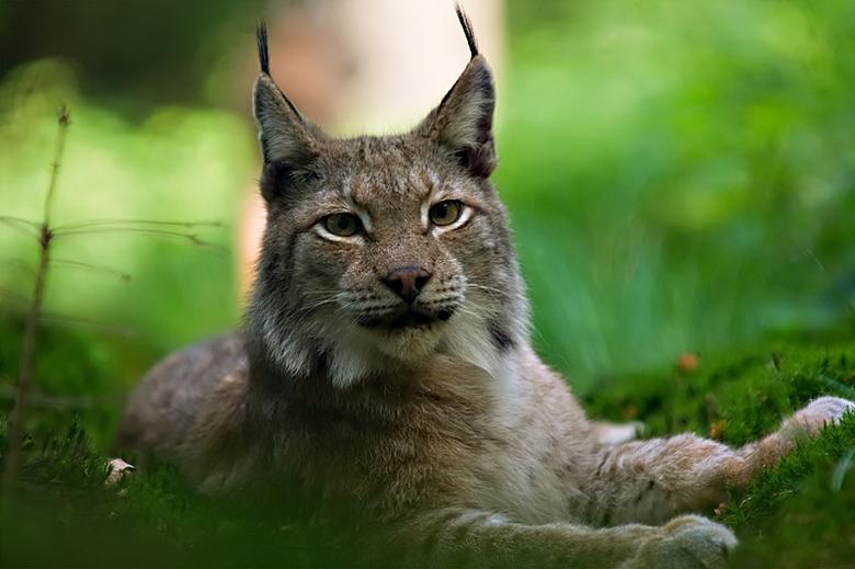 Lynx - Foto genomen in Biotopwildpark Anholter Schweiz<br />