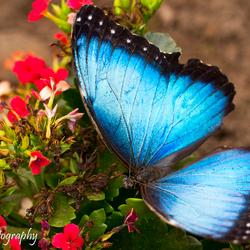 Grote Blauwe Morpho (Morpho Peleides)