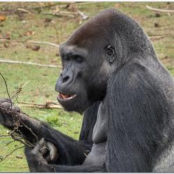 Gorilla geniet van zijn takjes.