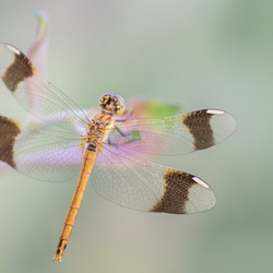 Heidebandlibel