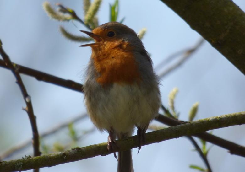Robin, ofwel Roodborstje - Beetje geluk met strijklicht juist op het rode deel, maar dit veel voorkomende vogeltje bleef netjes zitten voor me, ik mee