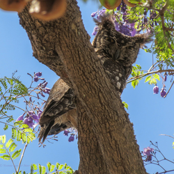 Gevlekte ooruil, (Spotted eagle owl)