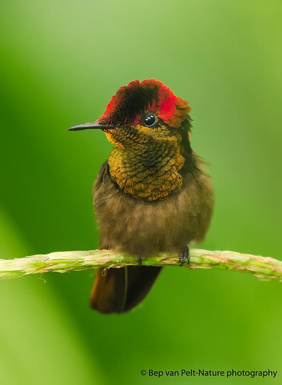 Muskiet- of bruine kolibrie  - Een foto van onze reis naar Curacao en Bonaire november 2016. In de tuin van ons resort stonden vele nectarplanten die
