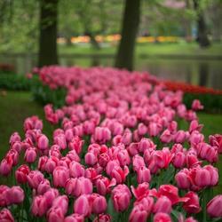 Tulpen :-)