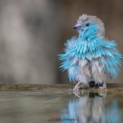 Blauwfazantje - Blue-waxbill - (Uraeginthus-angolensis)