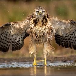 Buizerd droogt de vleugels na een langdurig bad