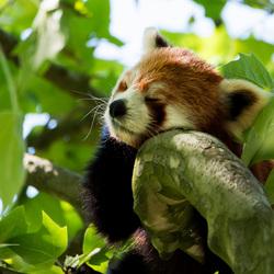 Dromende Rode Panda