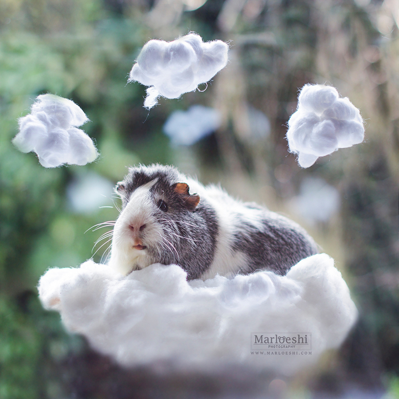 Weather forecast - Cloudy with a chance of guineapig!<br /> <br /> © Marloes van Antwerpen<br /> www.marloeshi.com<br /> <br /> Instagram.com/mie