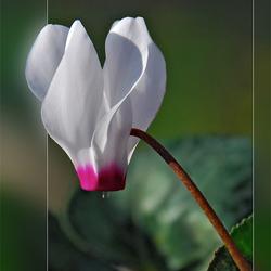 voorjaarsbloeier