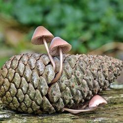 paddenstoeltjes op een dennenappel