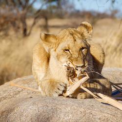 Jonge leeuwin