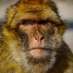 Abe the Ape