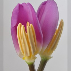 2011_03093.jpg Een Tulp