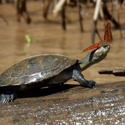 blije schildpad