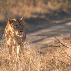 Gigantische leeuwin